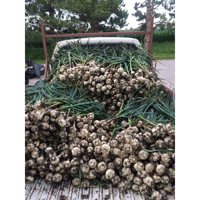 The Great Garlic Harvest of 2014